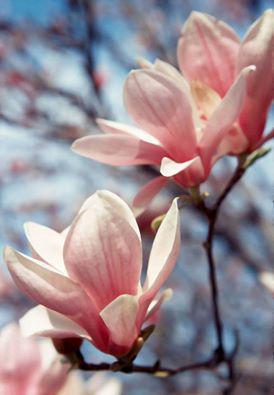 Nasza magnolia Biskupice 1